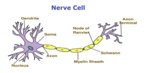 nerve cell showing myein sheath in repeating units on a long axon