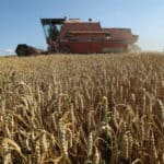 Wheat farmed by combine