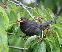 The Littlest Blackbird