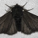 Black-bodied peppered moth